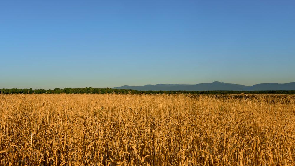 sunrise-grain-field--149A.jpg