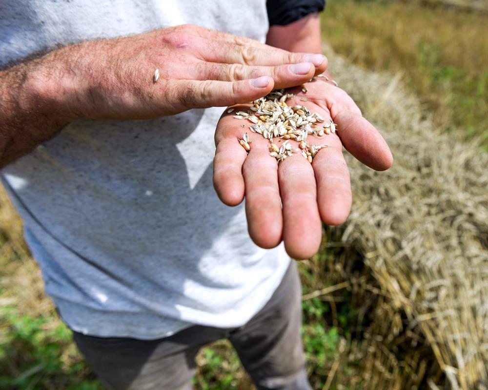 wheat-harvesting-22.jpg