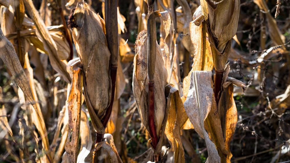corn-8.jpg