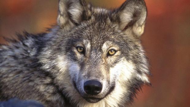hi-grey-wolf-headline-852-9-8col.jpg