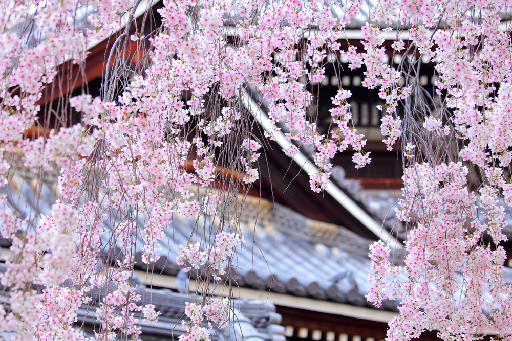 Cherry Blossom - Weeping Sakura Tree