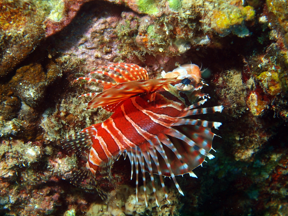Coral Fish with Spine