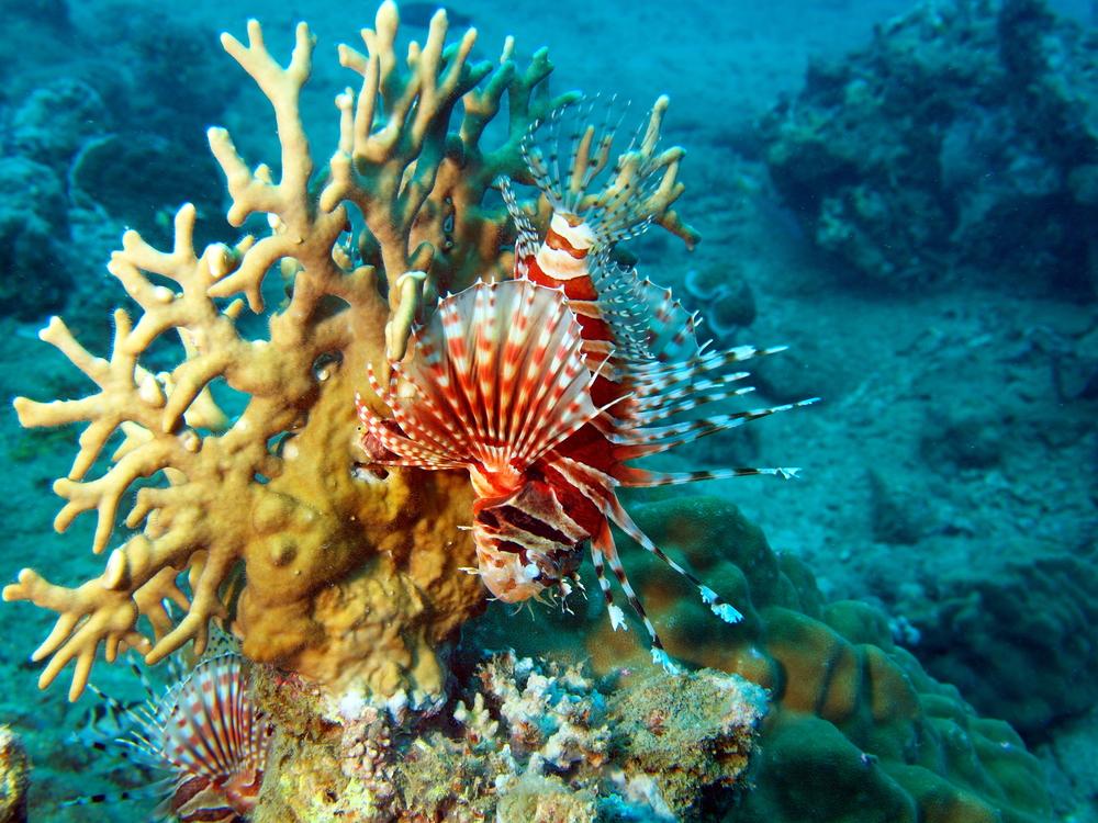 Scorpion Fish Vietnam Nha Trang