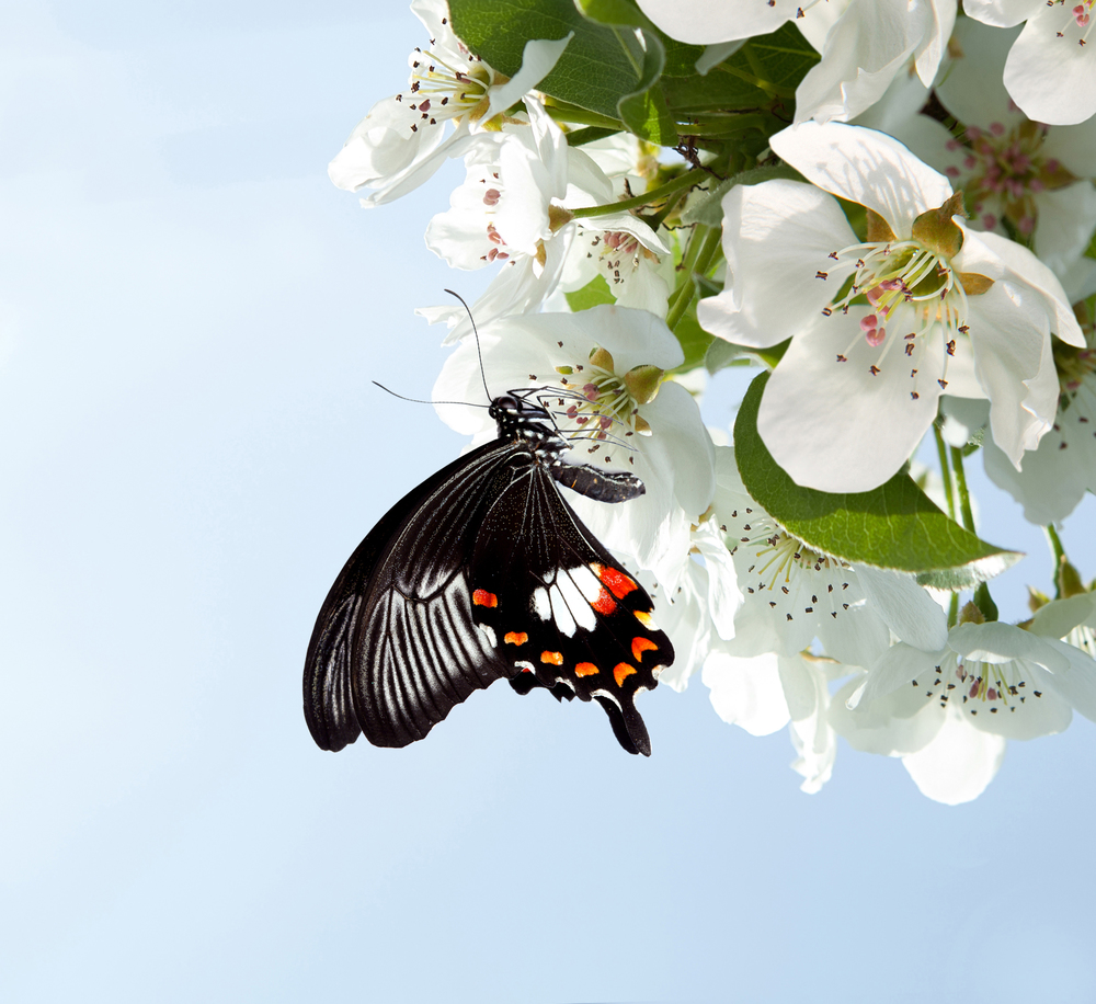 Butterfly on Cherry Flower