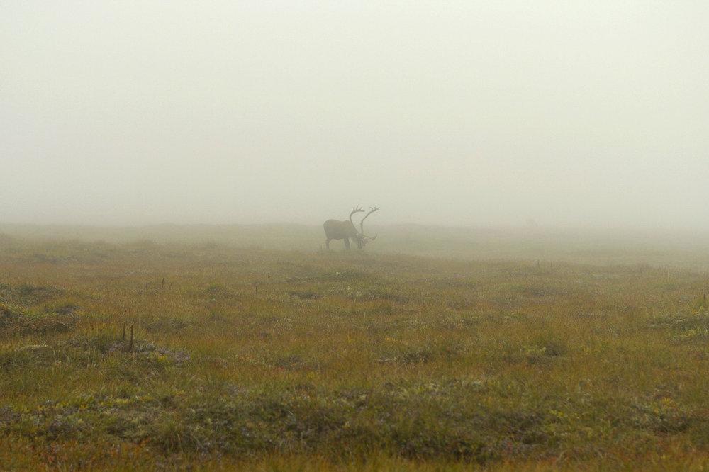 porcupine_caribou.jpg