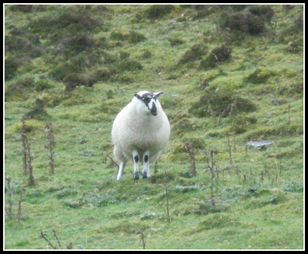 Sheep, watching the Pilgrims ascend the slopes of Carrowkeel.