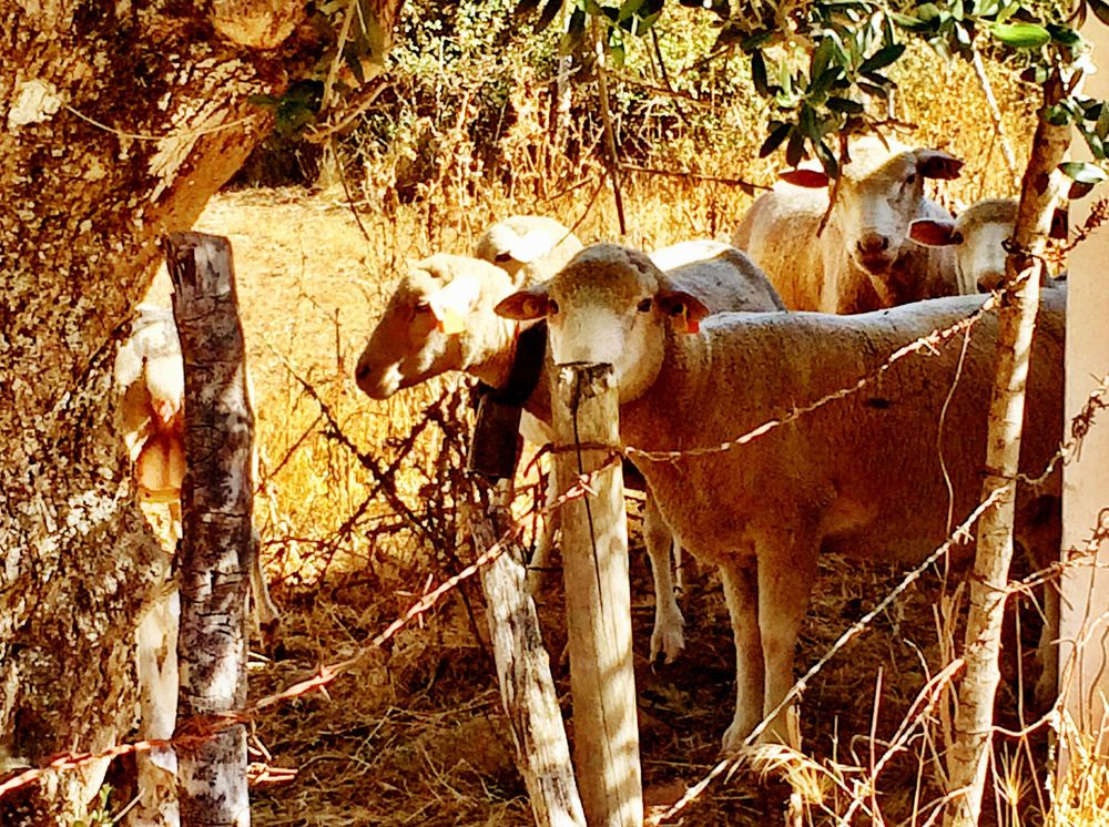 PORTUGAL-V.Extramuros Sheep on grounds.jpg