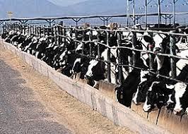 cafo cattle.jpg