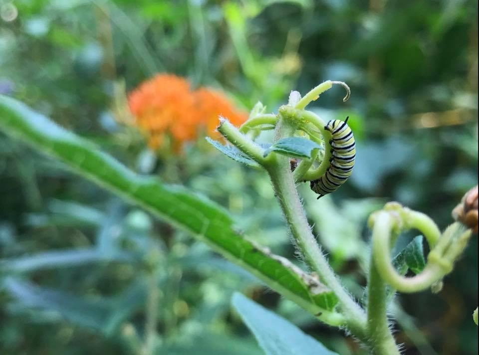 milkweed caterpillar.jpg