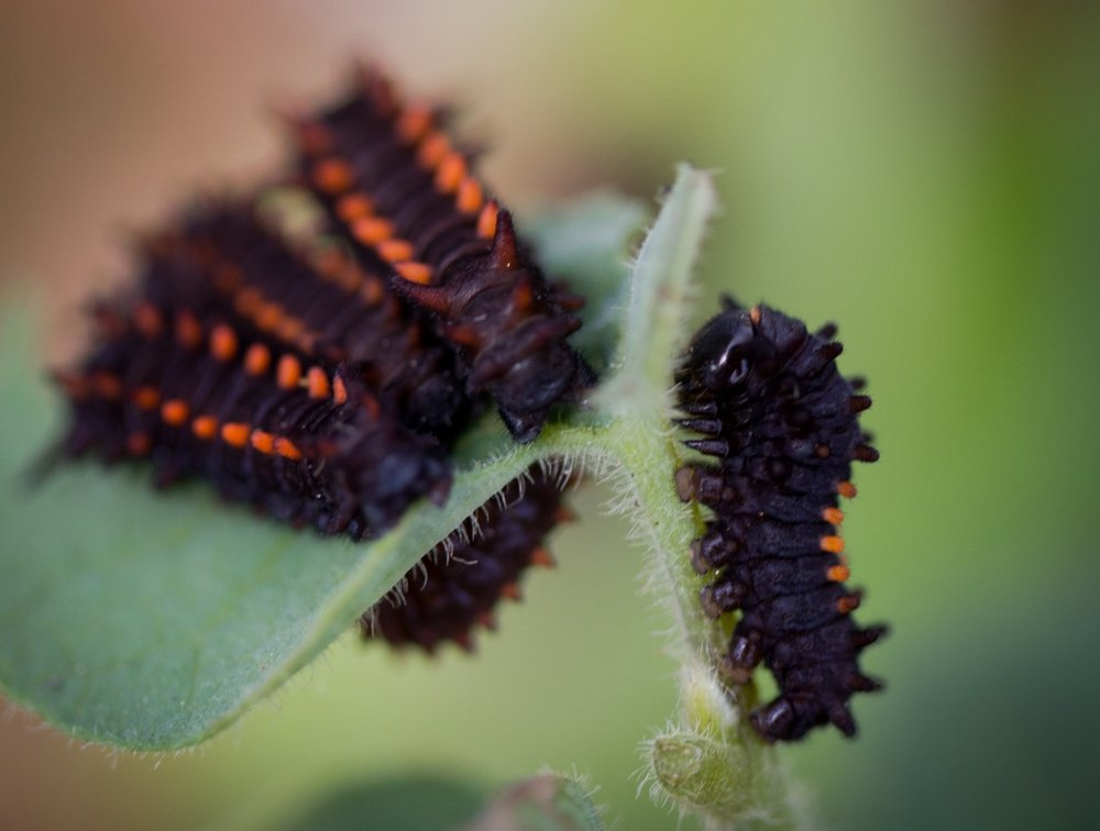 Aristilochia-californica-caterpillars-1024x774.jpg