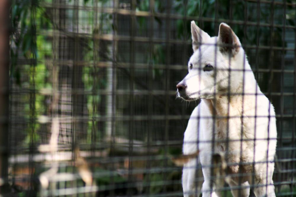 20070521_IMG_0528 Dingo.jpg