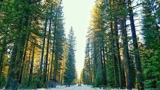 Driving through of a beautiful grove of giants.
