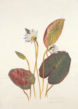 Margaret-Mee-Nymphaea-ampla-var-pulchella-crop.jpg