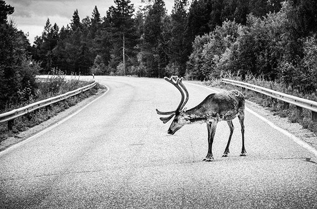 """Reindeer ahead"" (#Finland 2014) . . . #blackandwhitephotography #blackandwhite #bnw #bw #monochrome #nikon"