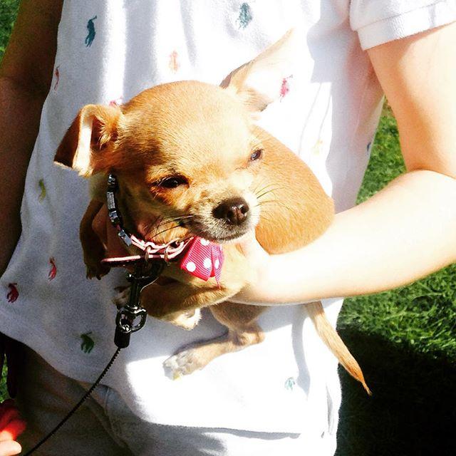 Hottest dog! 'Dulcie' #victoriaParkDogShow #bestInShow #prettiestFemale #victoriaPark #hackney #eastlondon #dogshow #hotdogs