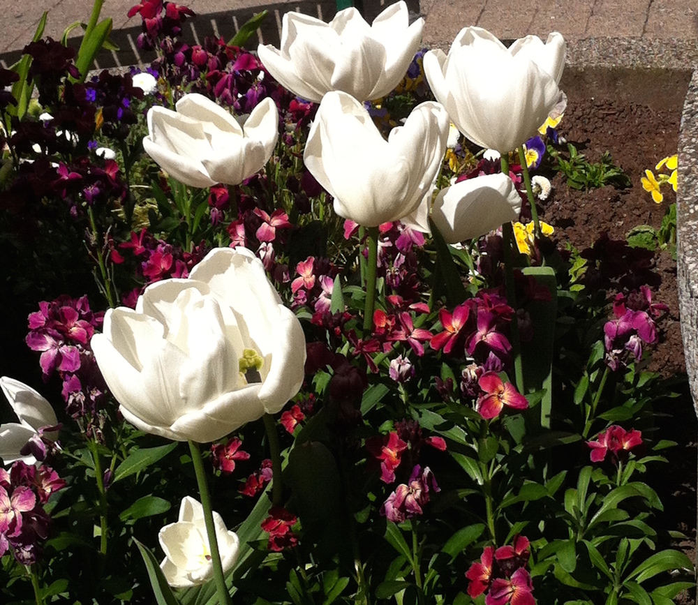 Tulips at Market Square Photo Credit:  Michelle Somers