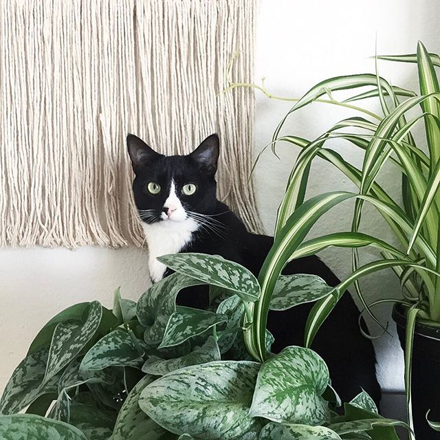 🌿 🌱+ 🐱 = 😁⠀ ⠀ First edition of #planttips are up on my stories! ⠀ ⠀ I'm sharing my top 3 favorite cat friendly houseplants, how to care for them + tips and tricks I've used over the last year to create harmony between my fur babies and 30+ plants in this jungle house🍃⠀ ⠀ Check it out and be sure to let me know what other topics you want me to cover in the next few weeks!! ⠀ ⠀ ⠀ ⠀ ⠀ ⠀ .⠀ .⠀ .⠀ .⠀ .⠀ #plantlady #plantmama #junglehome #junglevibes #catlady #furbaby #blackgirlswithgardens #jungalowstyle #jungalowhome #plantlover #plantlife #indoorgarden #junglehome #plantcare #healthyhome #healthylifestyle #healthyliving #homejungle #sparkjoy ⠀ ⠀
