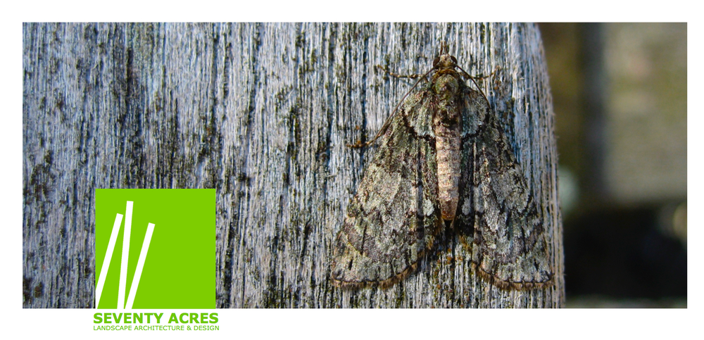 18+Adirondack+Moth.png