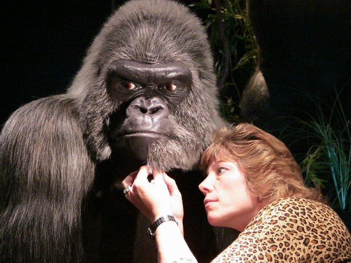 Recreation of famous gorilla Samson of the Milwaukee County Zoo with taxidermist Wendy Christensen-Senk