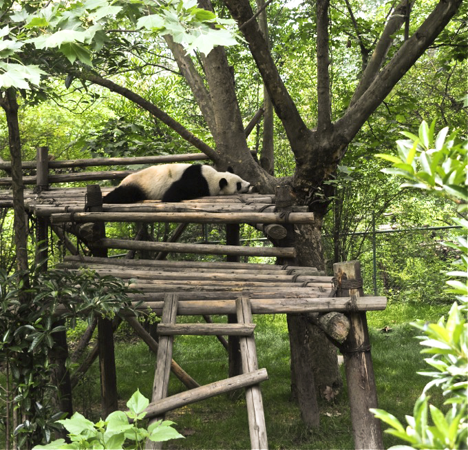 Panda Sanctuary, Chengdu, Sichuan, China