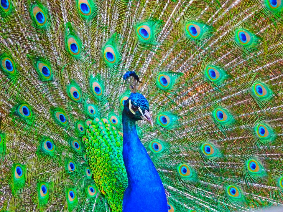 Like a peacock, your beauty is multiplied when you spread your wings and show the world your stuff! Don't be afraid to be who you are - each peacock feather is flawed and imperfect, but collectively they create something of great beauty. Your flaws are what make you perfect!         ~ Unknown Author