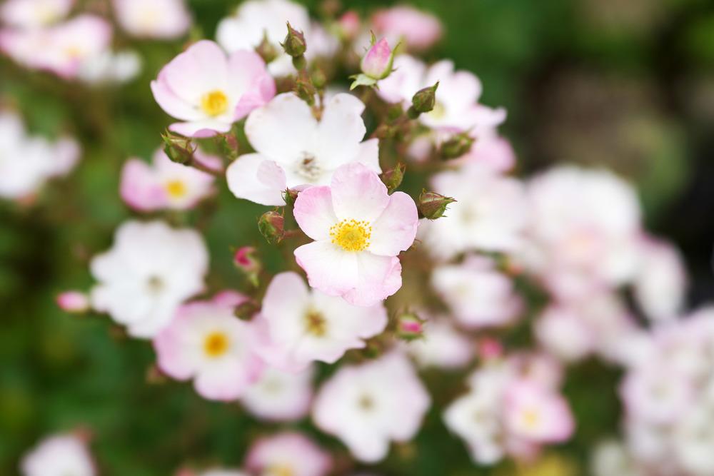 roses-mini-DSC02429.jpg
