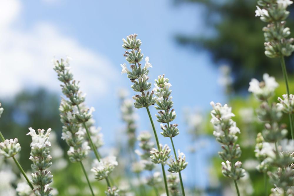 lavender-white-DSC02299.jpg
