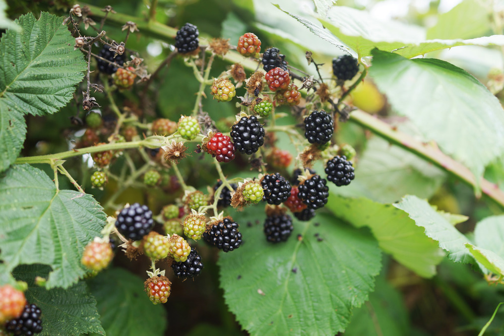 blackberries-DSC04619.jpg