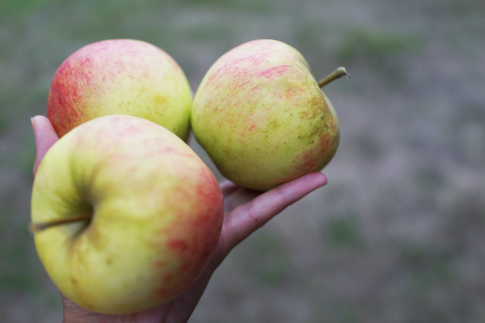 apples-heirloom-DSC07838.jpg