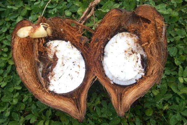Sprouted coconut, one of our favorite delicacies :)