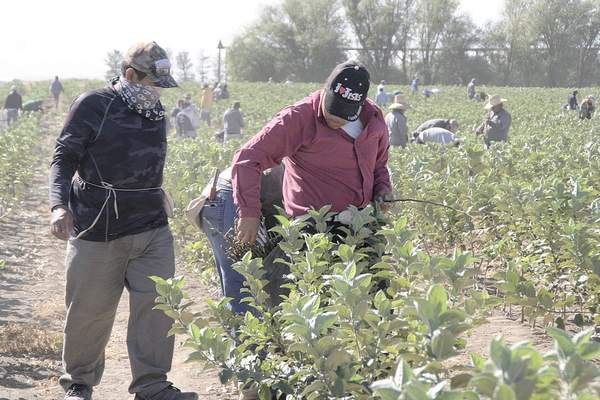 Ricardo Santacruz reaches for a Cosmic Crisp™ limb of buds as Eduardo Morales gets ready to wrap bud behind him. Part of the crew of 45 in background budding Cosmic Crisp™ buds onto rootstock trees at Willow Drive Nursery, Ephrata, Wash., Sept. 12.  Photo by Capital Press.