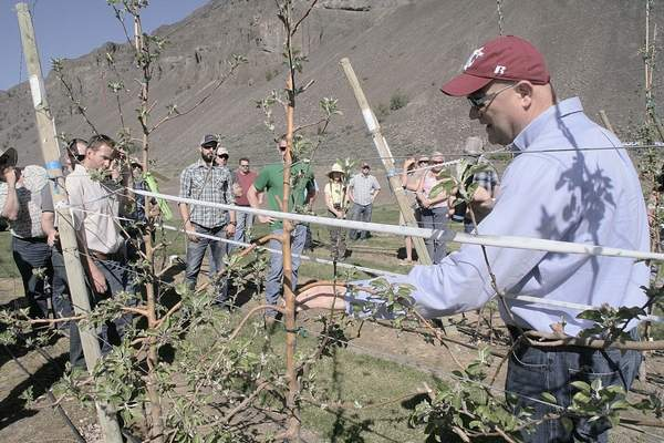 Stefano Mussachi, WSU tree fruit physiologist, shows growers a Cosmic Crisp  apple tree in spindle tree style at the WSU Sunrise Research Orchard near Rock Island, Wash., on April 7. Mussachi and others gave more Cosmic Crisp growing tips at a SeptEMBER 22 field day.
