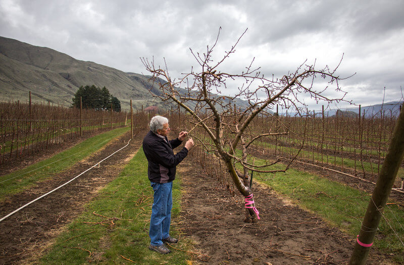 Patent holder Bruce Barritt stops by the mother of all Cosmic Crisp trees. Cosmic Crisp was the result of a breeding project at Washington State University in the 1990s.  Photo by Dan Charles, NPR.