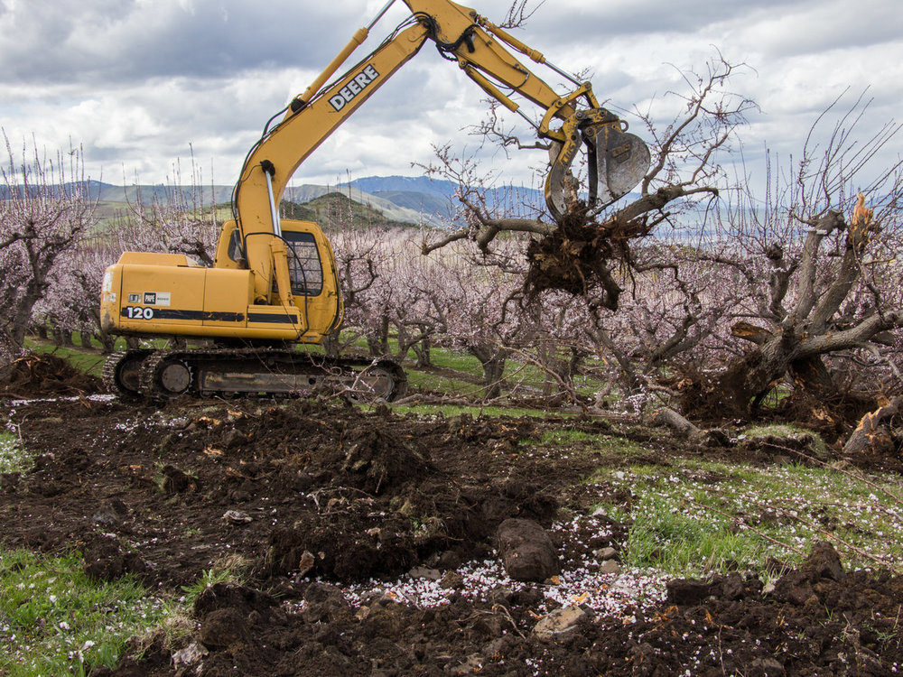 Apricot trees are removed to make way for Cosmic Crisp. Photo by Dan Charles, NPR.