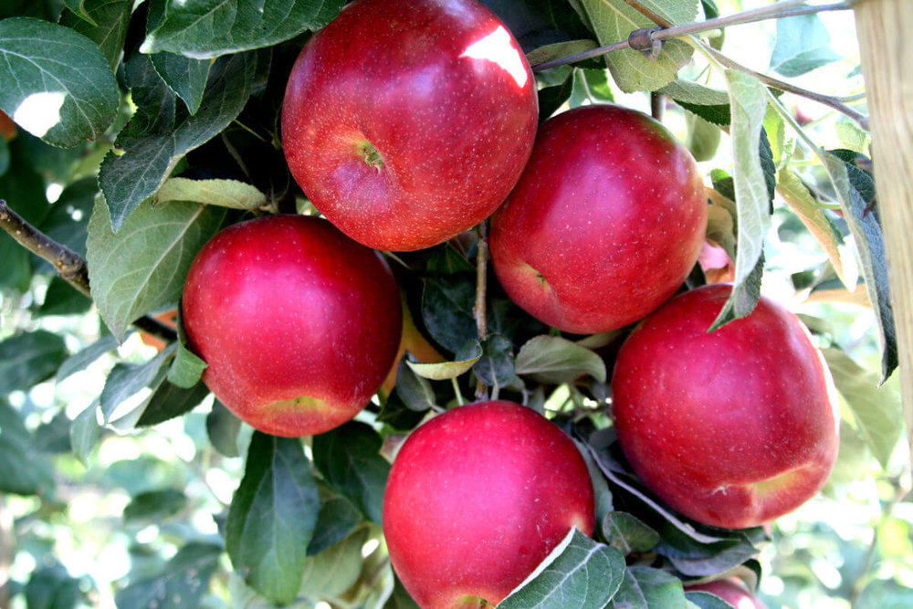 Cosmic Crisp™ brand apples were created by the Washington State University tree fruit breeding program by crossing an enterprise apple with a honeycrisp. The apples trees will be released in a limited number to growers in 2017.
