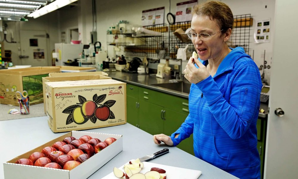 How do you like them apples? Lead scientist Dr Kate Evans at Washington State University's Tree Fruit Research & Extension Center. Photograph: Ted S. Warren/AP