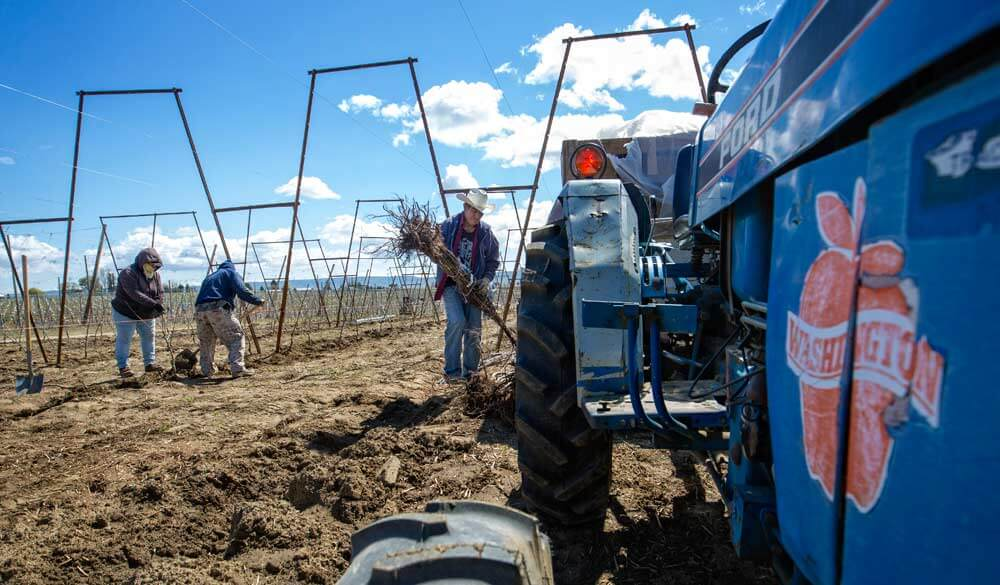 Raphael Sisneros Garcia prepares to plant Cosmic Crisp apple trees in April in what was a Grandview, Washington, vineyard. The new variety, bred and released by Washington State University, is being planted for the first time commercially this year. Photo by TJ Mullinax, Good Fruit Grower.