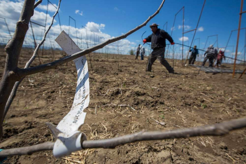 Miguel Vazquez pulls new irrigation lines in April for one of the first commercial Cosmic Crisp apple blocks planted in Washington. Photo by TJ Mullinax, Good Fruit Grower.