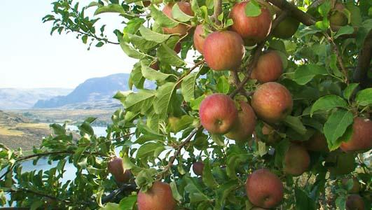Apple harvest has just begun in Washington State. This year is the second largest crop on record. Washington Apple Commission.