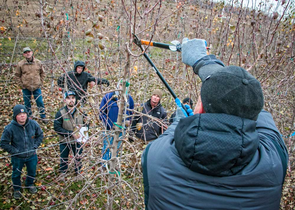 Horticulturist Stefano Musacchi teaches growers the art of pruning Cosmic Crisp trees at a demonstration in December, 2017, Washington State University Roza trial orchard. Photo by Ross Courtney,  Good Fruit Grower .