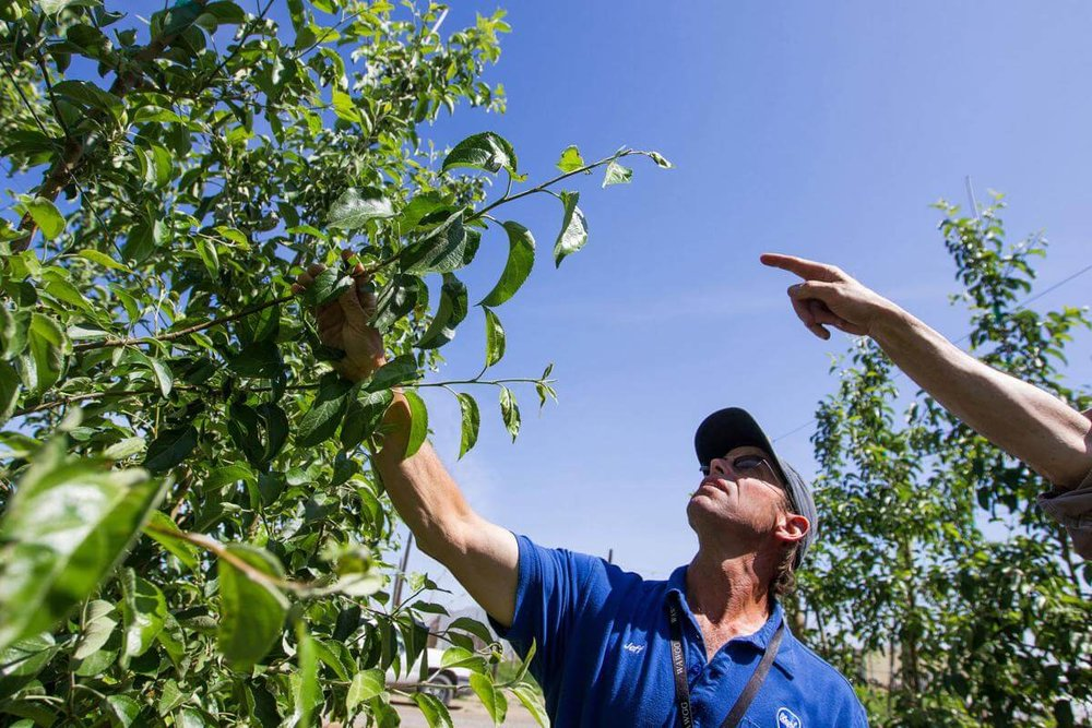 Jeff Samples, an agronomy consultant with Bleyhl Farm Service, scouts for damage and signs of disease and pests on the branches of Cosmic Crisp apple trees at a trellis training orchards at the Washington State University Irrigated Agricultur Research Extension Center in Prosser, Wash. on Wednesday, May 18, 2016. Washington State University and a Seattle-based company are in litigation about an agreement between the two. Photo by Shawn Gust,  Yakima Hearald-Republic.