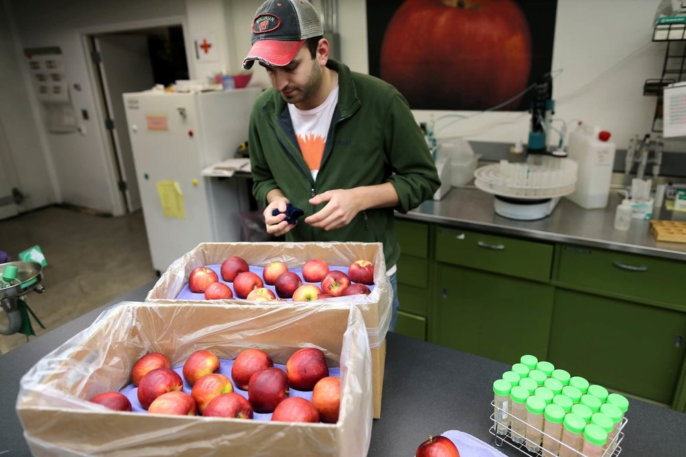 Alex Goke, a research assistant, polishes some Cosmic Crisp apples at the WSU Tree Fruit Research and Extension Center in Wenatchee, WA.