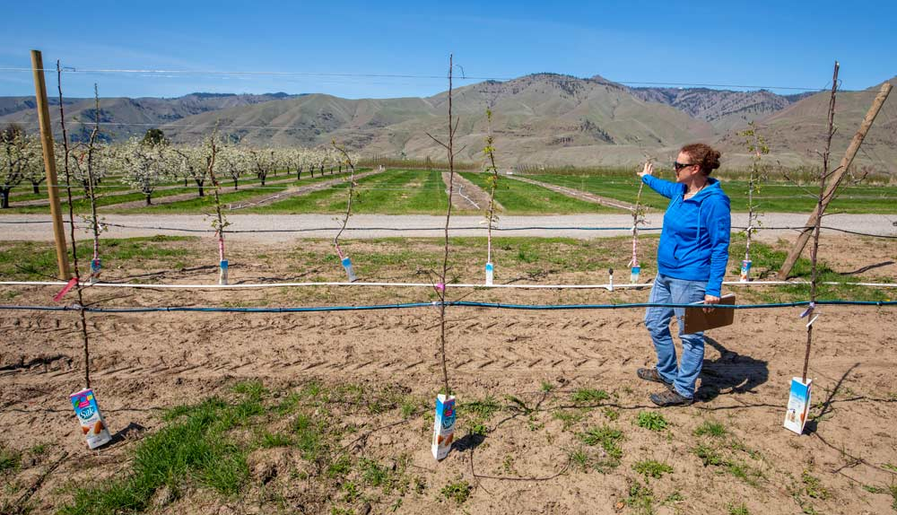 "Evans points out cultivars in various stages of development at the Columbia View research orchard near Wenatchee. The row of trees to her right are kept as ""mother"" trees for new crosses, while the buds to her left are younger trees starting Phase 1. ""Every year we plant trees, but every year we take out trees, as well,"" she said. (Photo by TJ Mulinax,  Good Fruit Grower )"