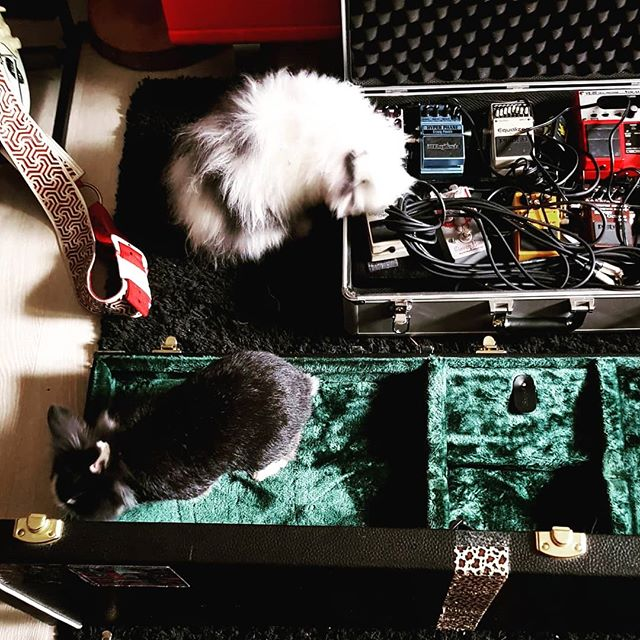 Just checking if the gear is already dry from yesterday's rain #rain #pouring #wet #wetgear #yesterday #letitdry #thedayafter #dry #gear #guitarcase #pedaltrain #rabbit #rabbitsofinstagram #rabbitlife #bunny #model #sasha #teddy #teddywidder #inspector #sherlock #confirmed #affirmative #vegan #carrots