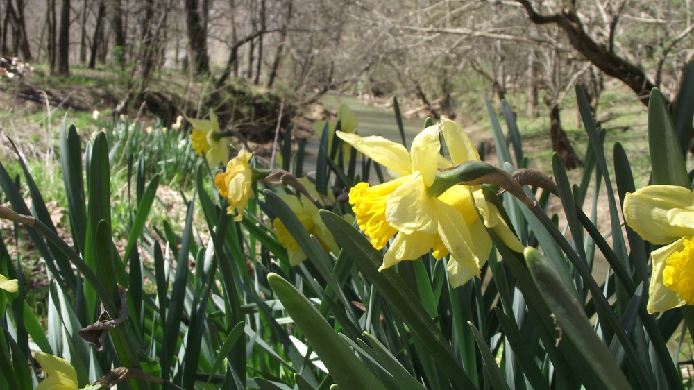 Daffodils by the creek.