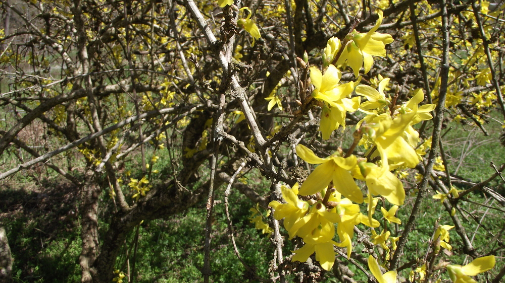 Forsythia blooms at the edge of the field.