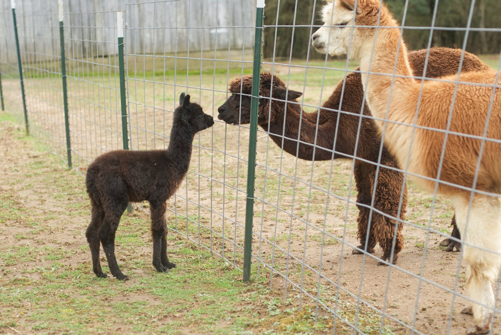 Cria introductions