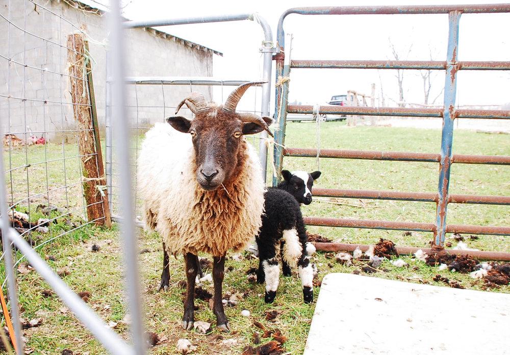 HH Farm Shearing 2018-47.jpg