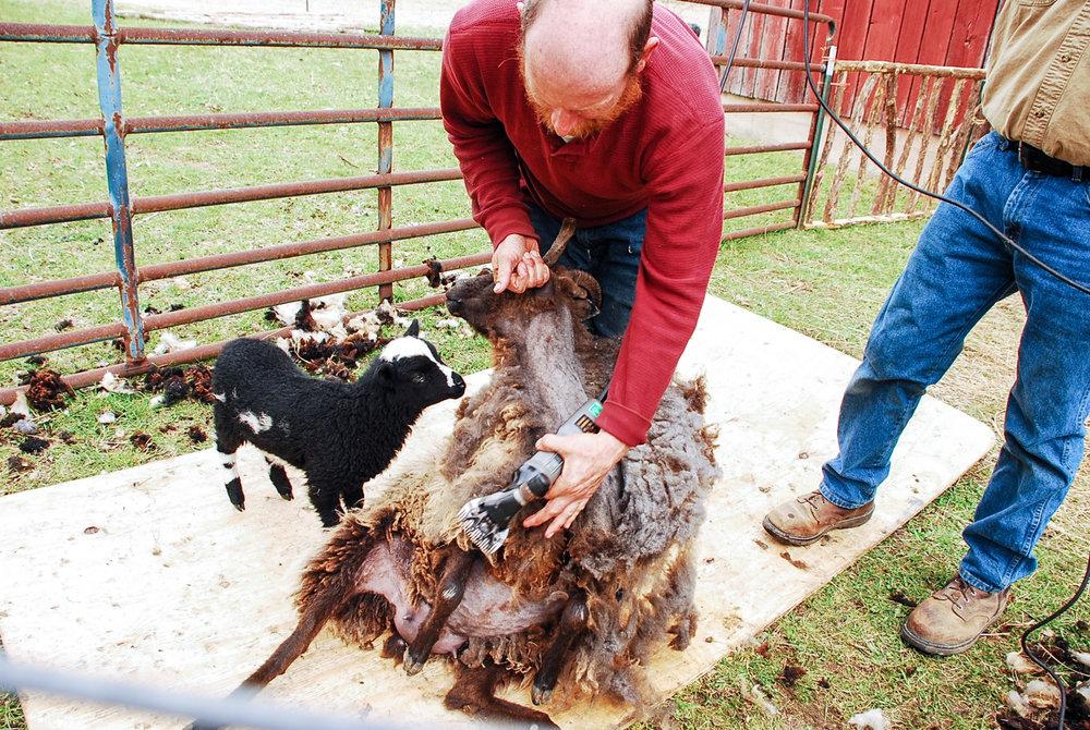 HH Farm Shearing 2018-49.jpg