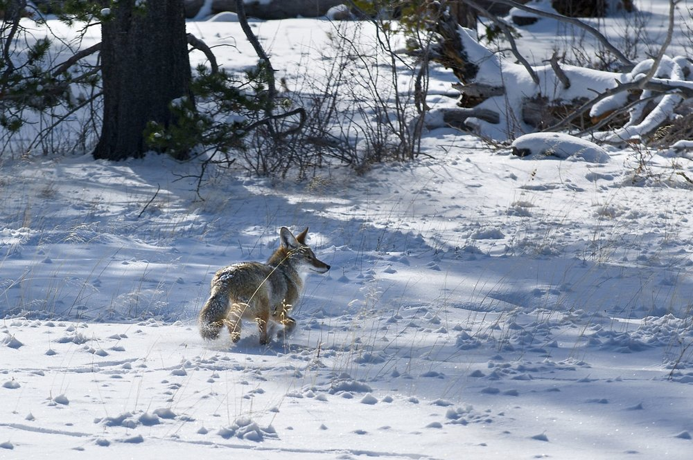 A coyote ( Canis latrans )wanders across a snow covered field near South Lake Tahoe on Friday, December 14, 2012.